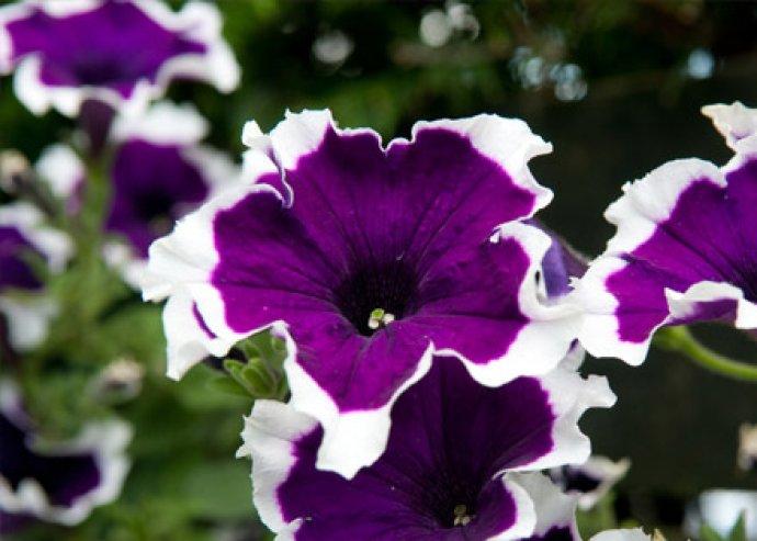 Különleges, virágfölddel és 6-8 db petúnia maggal töltött, Flowcan konzervdoboz, zöld színben
